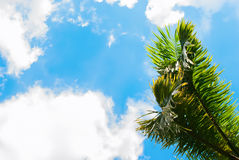 Leaves of Palm Trees on Blue Sky. Natural Background Stock Photo
