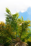 Leaves of Palm Trees on Blue Sky. Natural Background Stock Photography