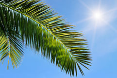 Leaves of  palm trees and blue sky Stock Photography