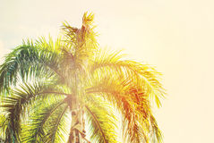 Leaves of Palm Trees in Sun Light. Natural Background Royalty Free Stock Photography