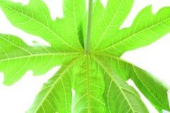 Leaves papaya background Stock Image