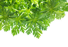 Leaves of papaya Stock Images