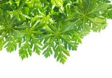 Leaves of papaya Stock Images