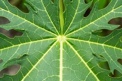 Leaves of papaya texture Stock Photos