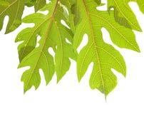 Leaves of papaya tree Stock Photography