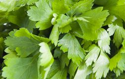 Leaves parsley Royalty Free Stock Photography