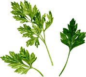Leaves of parsley