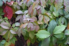 Leaves of Parthenocissus quinquefolia in autumn. Colors Stock Photo