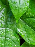 Leaves of Passion Fruit. And drops of water in the garden and nature background stock images
