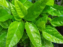 Leaves of Passion Fruit. And drops of water in the garden and nature background royalty free stock images
