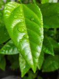 Leaves of Passion Fruit. And drops of water in the garden and nature background royalty free stock image