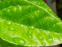 Leaves of Passion Fruit. And drops of water in the garden and nature background stock image
