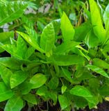 Leaves of Passion Fruit. In the garden and nature background royalty free stock photo