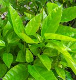 Leaves of Passion Fruit. In the garden and nature background royalty free stock image