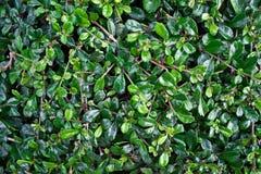 Leaves pattern of Carmona Retusa (Vahl) Masam Stock Photography