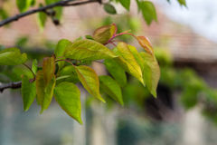 Leaves of a peach tree. With blurred background Royalty Free Stock Photo