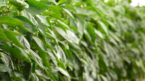 Leaves of pepper fruit plant inside a agricultural greenhouse stock footage
