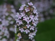 The leaves and petals of the flowers of thyme covered with small. Dew drops. Macro Stock Images