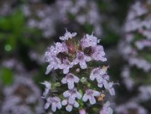 The leaves and petals of the flowers of thyme covered with small. Dew drops. Macro Royalty Free Stock Image