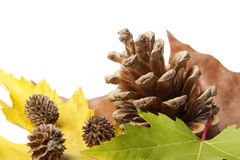 Leaves with pine cones Royalty Free Stock Images