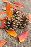 Leaves and pine cones. Red and yellow leaves with pine cones on old wood background Royalty Free Stock Photography