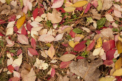 Leaves and pine needles Stock Images