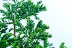 Leaves of pine tree close up. Leaves of pine tree or Oriental Arborvitae , Scientific Name:Thuja Orientalis Royalty Free Stock Image