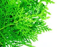 Leaves of pine tree close up. Leaves of pine tree or Oriental Arborvitae , Scientific Name:Thuja Orientalis Stock Photo