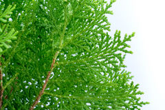 Leaves of pine tree close up. Leaves of pine tree or Oriental Arborvitae , Scientific Name:Thuja Orientalis stock image