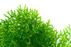 Leaves of pine tree close up. Leaves of pine tree or Oriental Arborvitae , Scientific Name:Thuja Orientalis Stock Photos