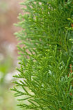 Leaves of pine tree Royalty Free Stock Photos