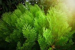 Leaves of pine tree or Oriental Arborvitae , Scientific Name. Thuja Orientalis Royalty Free Stock Photo