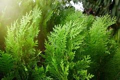 Leaves of pine tree or Oriental Arborvitae , Scientific Name. Thuja Orientalis Royalty Free Stock Photography