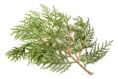 Leaves of pine tree. Or Oriental Arborvitae , Scientific Name:Thuja Orientalis , on white background Stock Photos