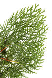 Leaves of pine tree. Or Oriental Arborvitae , Scientific Name:Thuja Orientalis , on white background Royalty Free Stock Images