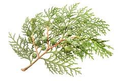 Leaves of pine tree. Or Oriental Arborvitae , Scientific Name:Thuja Orientalis , on white background Royalty Free Stock Photo