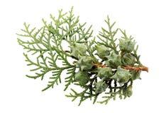 Leaves of pine tree. Or Oriental Arborvitae , Scientific Name:Thuja Orientalis , on white background Royalty Free Stock Photos