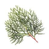 Leaves of pine tree. Or Oriental Arborvitae , Scientific Name:Thuja Orientalis , on white background Stock Photography