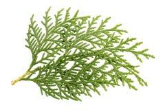 Leaves of pine tree. Or Oriental Arborvitae , Scientific Name:Thuja Orientalis , on white background Stock Photo