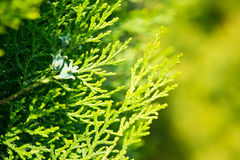 Leaves of pine tree Thuja, yellow and green background Stock Photo