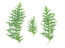 Leaves of pine tree on white background. Leaves of pine tree or Oriental Arborvitae , Scientific Name:Thuja Orientalis , on white background Stock Images
