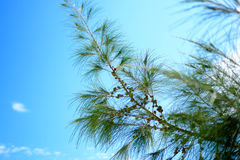 Leaves of pine trees and sky. Leaves of pine trees and blue sky Stock Images