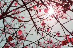 The leaves pink color of the Bodhi Tree in the summertime with t. He sunlight in midday Royalty Free Stock Image