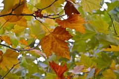 Leaves of a plane tree in autumn. Autumnally harvested leaves of a plane tree - about a week before they fall off. They then rot on the ground during the winter Royalty Free Stock Photo