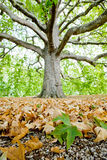 Leaves of plane tree and gravel with big tree on b Royalty Free Stock Images