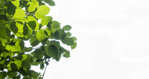 Leaves. Plant leaves isolated on a white background Stock Image