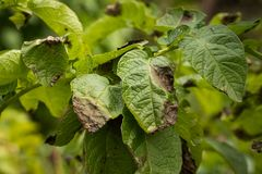 Leaves Plant Of Potato Stricken Phytophthora. stock photos