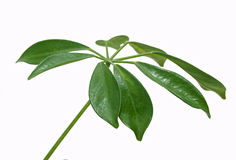Leaves  of plant of sheflera Stock Photo