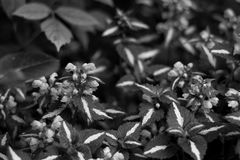 Leaves of the plant with white stripes, similar to the paint. In a black and white version. Stock Photo