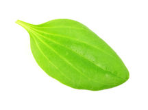 Leaves of a plantain Royalty Free Stock Images